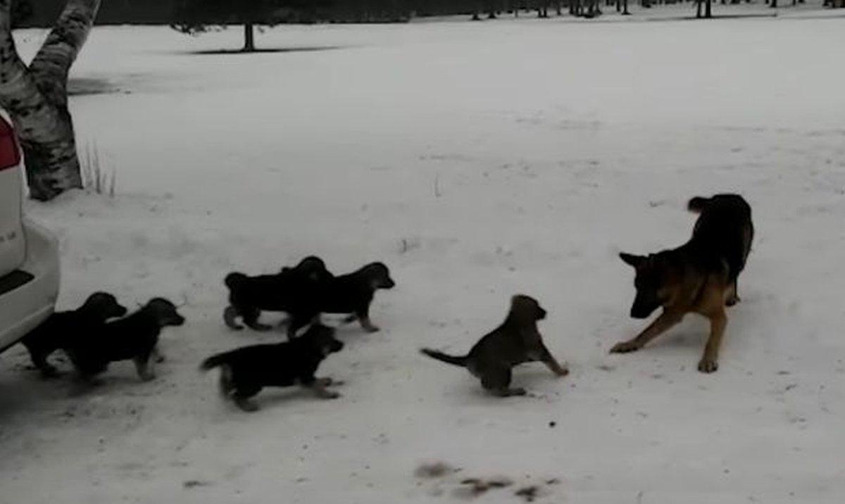psici-vucjak