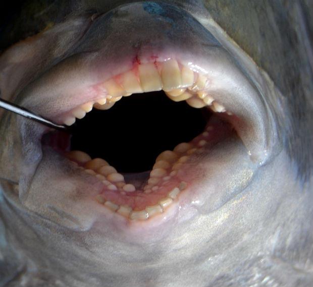 riba-zubi-kao-u-covjeka-2