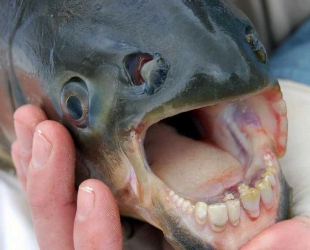 riba-zubi-kao-u-covjeka-6