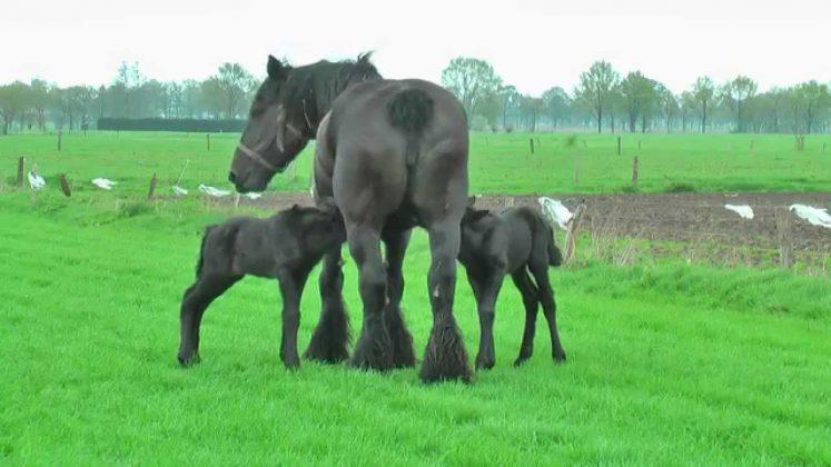 kobila-konji